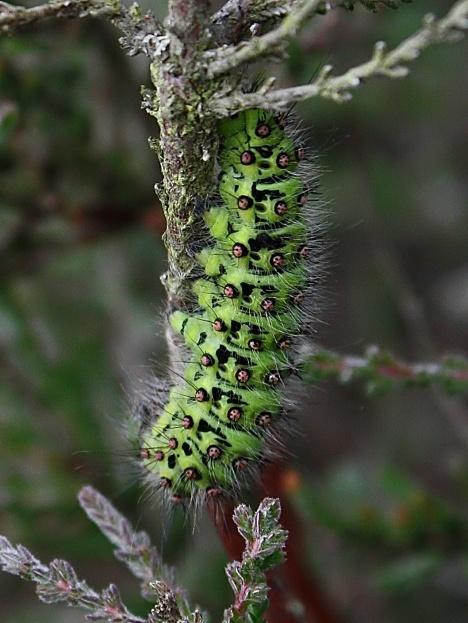 Emperor Caterpillar